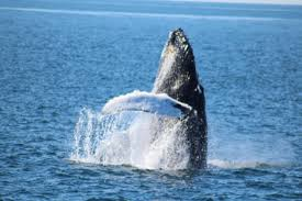 Whale Watches Cape Cod - travel diary pt 1 whale watching in cape cod this season u0027s gold