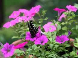 Flowers For Morning Sun - flowers morning flowers beauty pink butterfly purple plant nature