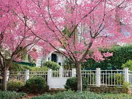 cherry blossom tree facts cherry blossom trees southern living