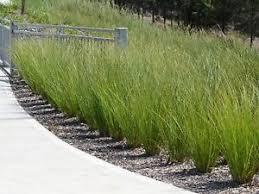 sedge grass seeds ornamental grass borders garden carex
