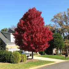 maple trees for sale fast growing trees