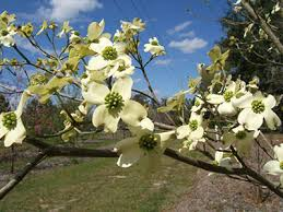 white flowering dogwood flowering dogwood of florida institute of food and