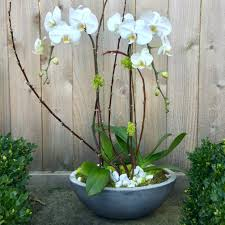 orchid plants phalaenopsis orchid plant duo