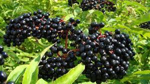 the tastiest berries that grow in america