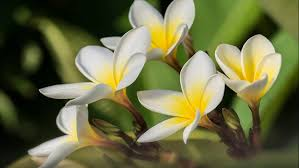 plumeria flowers plumeria flowers lovely yellow white flower desktop wallpaper hd