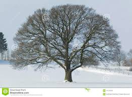 single oak tree in winter snow stock photography image