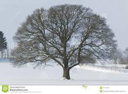 single oak tree in winter snow stock photography image