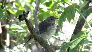 Ontario Backyard Birds A Bobolink Whistles A Merry Tune In Ontario