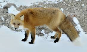 red fox animals of north america worldatlas com
