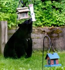 black bears bellying up to backyard bird feeders local