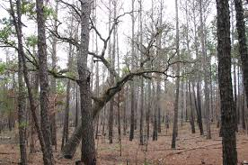 file contrasting tree types coexist in a forest jpg wikimedia