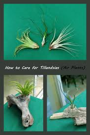 native south american plants 61 best air plants images on pinterest air plants air plant