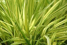 hakonechloa macra hakone grass