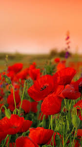 Flower Field Wallpaper - orange poppy field poppies pinterest orange poppy fields