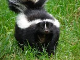 How To Get Rid Of Raccoons In Backyard How To Get Rid Of Skunks In Your Backyard Garden Wishlist