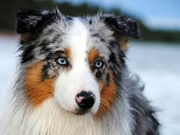 australian shepherd in spanish 10 random australian shepherd facts you never knew