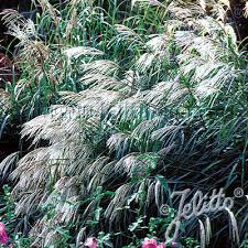 ornamental grass seeds 11 top grasses perennial flower seeds