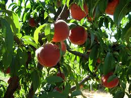 backyard orchard culture berkeley horticultural nursery berkeley
