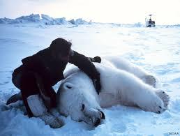 polar bears ursus maritimus marinebio org