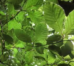 fagus sylvatica file european beech leaves fagus sylvatica in humlamaden 1518