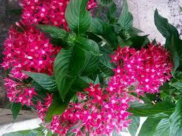pentas flower does pentas plant medicinal values owlcation