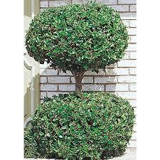 shop 10 25 gallon 2 tier poodle waxleaf ligustrum feature shrub