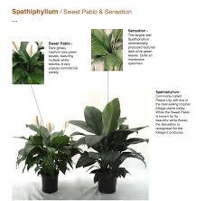 spathiphyllum capri farms a source of fine tropical foliage