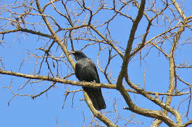 file black bird tree jpg wikimedia commons