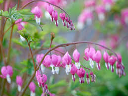 10 Best Perennials And Flowers by The 10 Best Perennial Flowers For Any Yard Bleeding Hearts Late