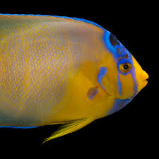queen angelfish national geographic