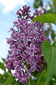 Lilac Flower by 1530 Best Lilacs Images On Pinterest Flowers Flowers Garden And
