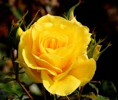the yellow rose my grandma u0027s favourite flower it means