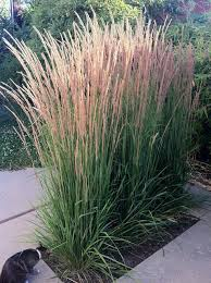 calamagrostis x acutiflora karl foerster feather reed grass