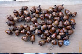 large acorns with affixed caps preserved with shellac