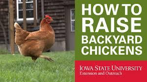 Can I Raise Chickens In My Backyard Backyard Chickens Why Raise Backyard Chickens Youtube