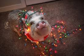 christmas pig pig helps decorate the christmas tree