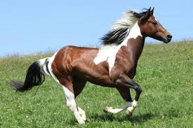 american paint horse overo lethal white foal syndrome ufaw