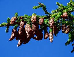 pine cone tap pine tree sapling alpine trees