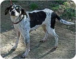 bluetick coonhound west virginia bugsey adopted dog gloucester va bluetick coonhound jack