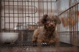 rolling stone crushes puppy mill trade a humane nation