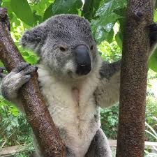5 year old koala barnaby dies at columbus zoo nbc4i com