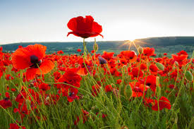 what is tall poppy syndrome oxfordwords blog