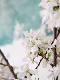 white cherry blossom diy the magical powers of white cherry blossoms gardenista