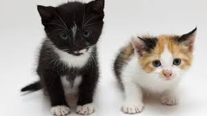 how to know which small cat breed is right for you howcast the