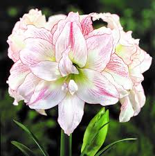 Amaryllis Flowers Double Amaryllis Bulbs Double Flowered Amaryllis
