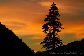 silhouetted douglas fir photo gallery