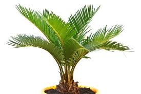 Small Desk Plants by Ever Tried To Grow Palms Indoor Blog Nurserylive Com