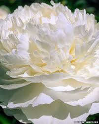 White Flowers Pictures - peonies pure white front yards and peony