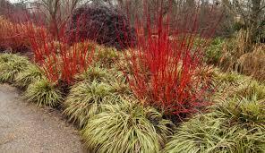 ornament grasses stunning ornamental grasses houston should you