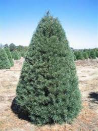 christmas trees natures best value evergreens 5011 baltimore